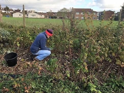 Pruning raspberries (2)