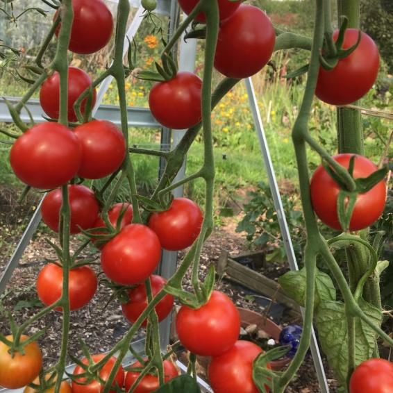 Ripe cherry toms