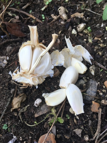 Gently break bulb into cloves