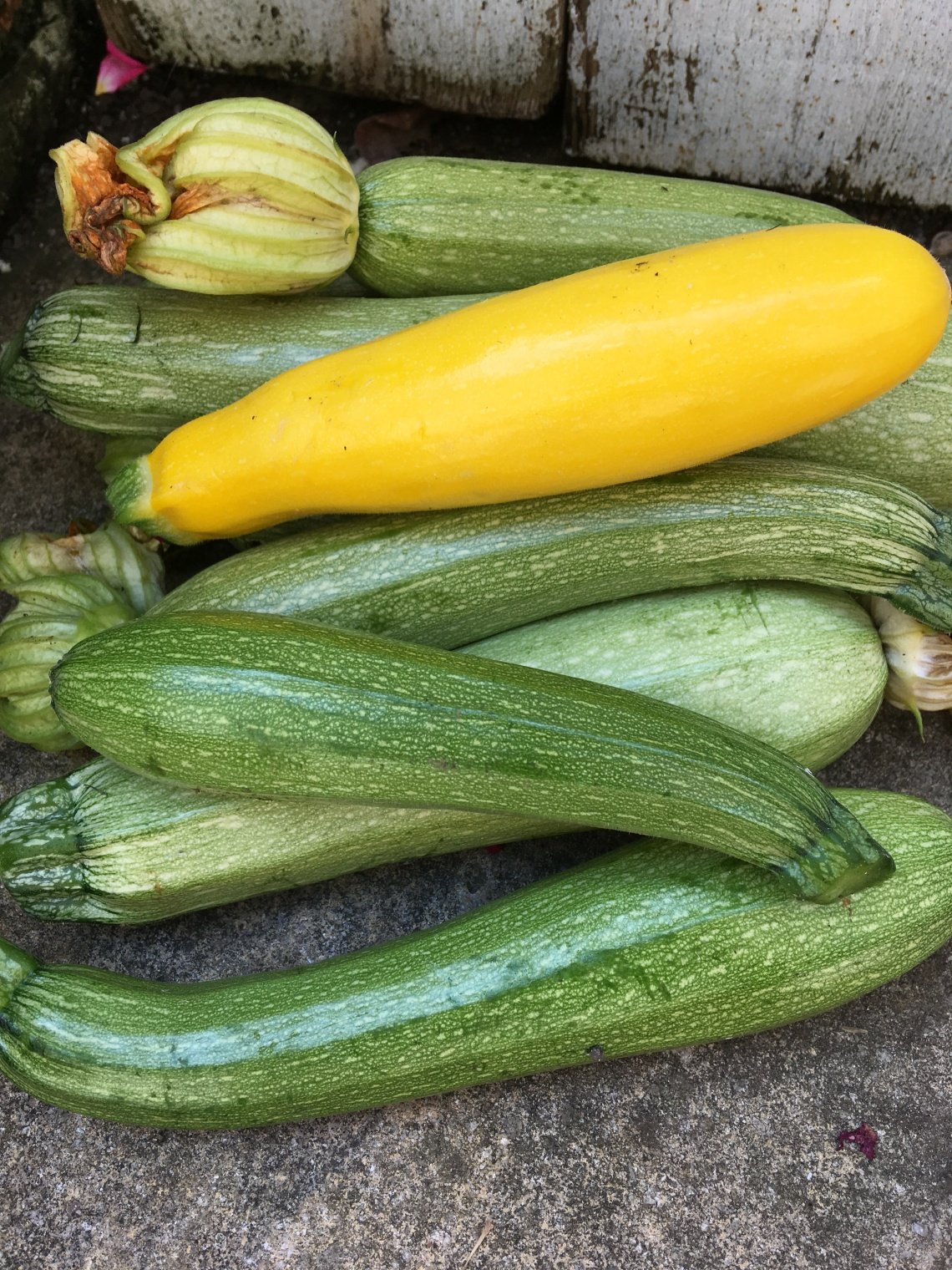 Courgette harvest