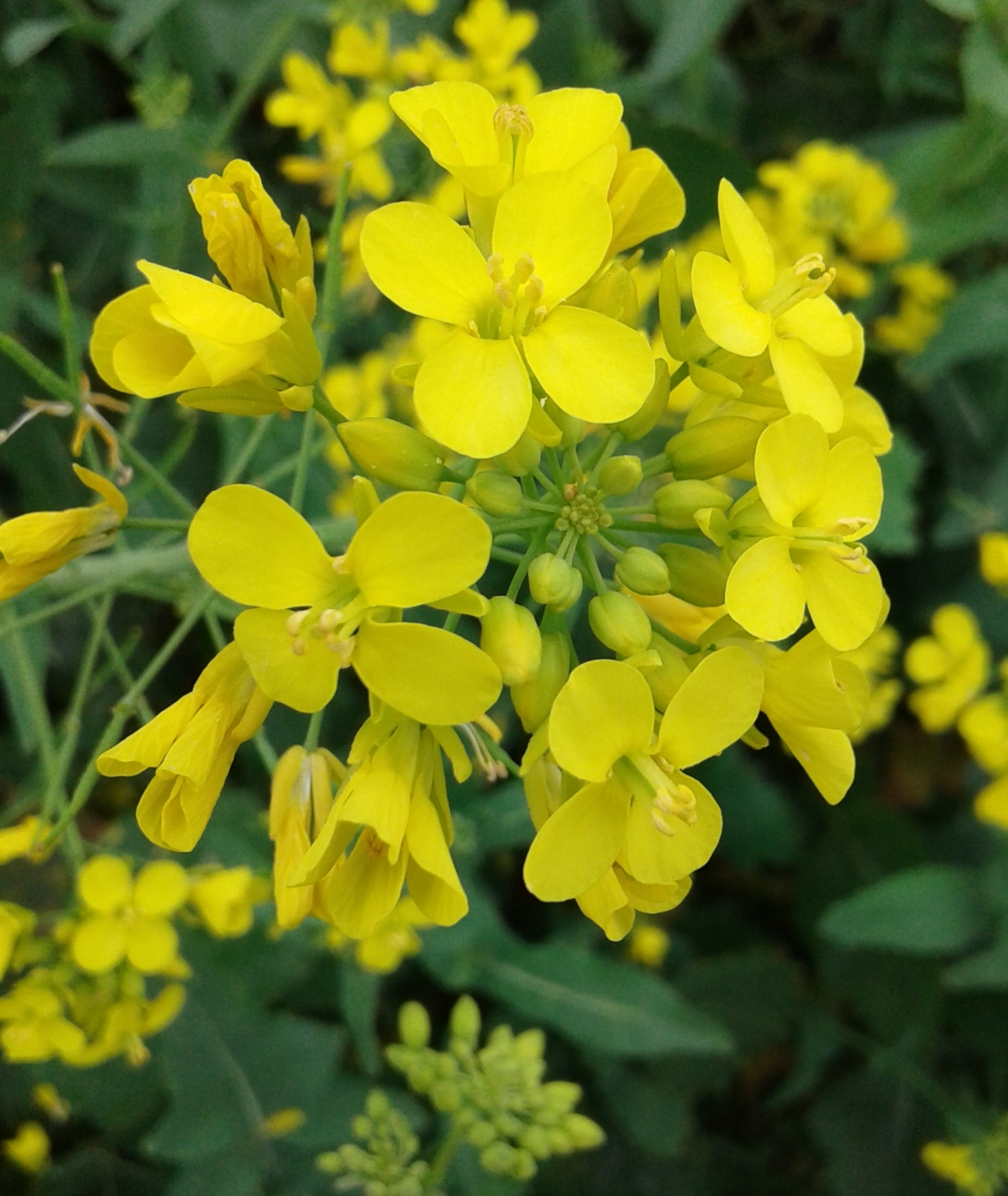 flower-mustard-mustard-plant-rapeseed-yellow-plant-1457293-pxhere.com_.jpg