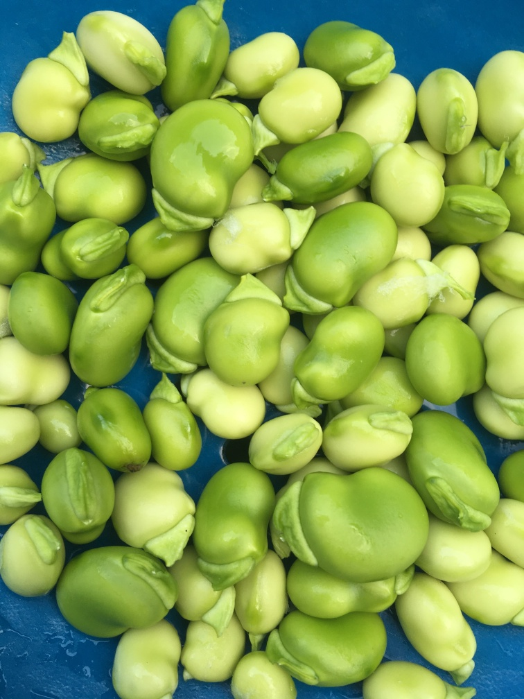 Broad Bean first harvest