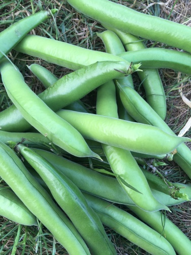 Broad bean pods picked