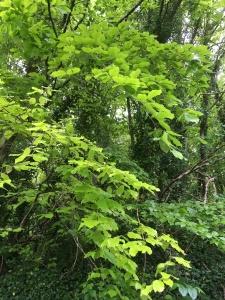 Verdant Trees